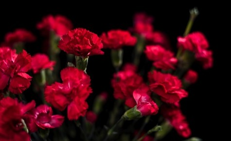 red_carnations_flowers-t2